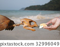 Hand feeding bread to the skeleton sea turtles. 32996049