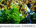 maple, yellow leafe, red leafe 33000831