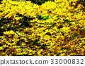 maple, yellow leafe, red leafe 33000832