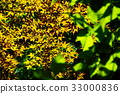 maple, yellow leafe, red leafe 33000836