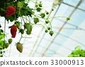 采草莓 摘草莓 草莓 33000913