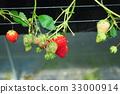 采草莓 摘草莓 草莓 33000914