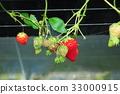 采草莓 摘草莓 草莓 33000915