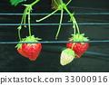 采草莓 摘草莓 草莓 33000916