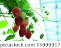 采草莓 摘草莓 草莓 33000917