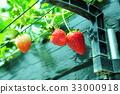 采草莓 摘草莓 草莓 33000918