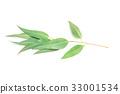 close up Eucalyptus leaves on white background 33001534