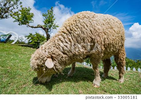 清境 農場 綿羊 33005181
