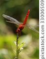 猩红蜻蜓 33006509