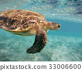 Adult green sea turtle (Chelonia mydas) 33006600