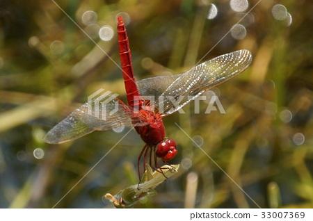 猩紅蜻蜓 33007369