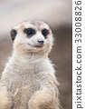 Meerkat 33008826