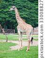Giraffe 33008827