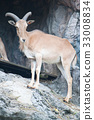 brown mountain goat 33008834
