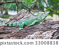 green iguana on wood 33008838