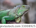 green iguana species 33008925
