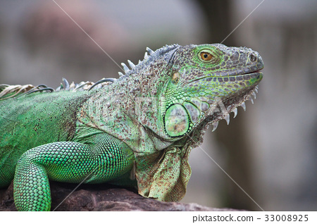 green iguana on wood 33008925