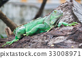 animal green iguana 33008971