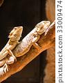 Mating of Bearded dragons (pogona vitticeps) 33009474