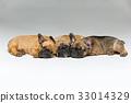 cute french bulldog puppies sleeping 33014329