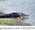 alligator, lake, outdoors 33018358