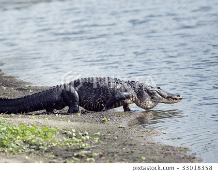 Alligator goes to the lake 33018358