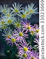 菊花 花朵 花 33023669