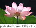 lotus flower, bloom, blossom 33025917