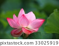 lotus flower, bloom, blossom 33025919