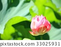 lotus flower, bloom, blossom 33025931