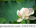 lotus flower, bloom, blossom 33025932