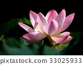 lotus flower, bloom, blossom 33025933