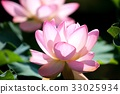 lotus flower, bloom, blossom 33025934