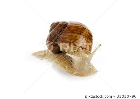 Large garden snail 33030790