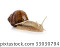 Large garden snail 33030794