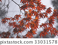 FadeRed japanese maple leaves background 33031578