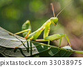 Praying mantis on green leaf 33038975