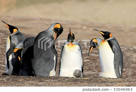 King penguins with chick, aptenodytes patagonicus 33046963