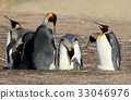 King penguins with chick, aptenodytes patagonicus 33046976