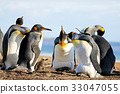 King penguins with chick, aptenodytes patagonicus 33047055