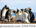 King penguins with chick, aptenodytes patagonicus 33047056