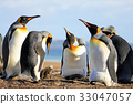 King penguins with chick, aptenodytes patagonicus 33047057