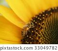 蜜蜂 向日葵 開花 33049782
