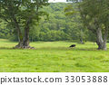 cow, cattle, cows 33053888