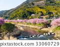 Sakura flower and river in kawazu 33060729