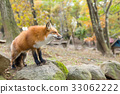 Red fox standing on rock 33062222