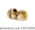 chicken goose 33072608