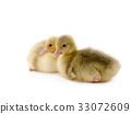 chicken goose 33072609