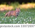 蝦夷紅狐狸 狐狸 動物 33072697