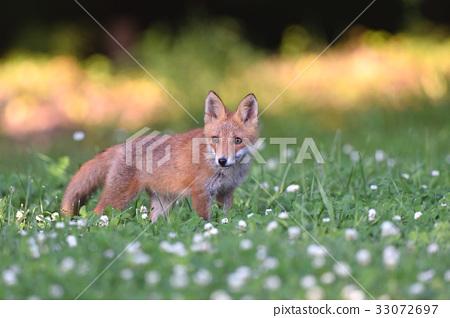 虾夷红狐狸 狐狸 动物 33072697